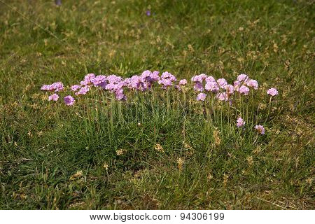 Pink thrift flowers blossoming on a heath