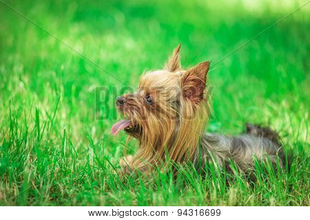 side view of a cute yorkshire terrier puppy dog panting in the grass