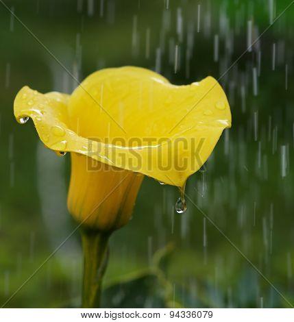 Golden Calla Lily Zantedeschia elliottiana in stormy rain background,Lilly is genus in Araceae famil