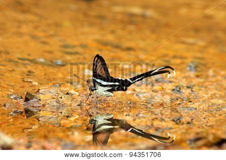 White Dragontail Butterfly
