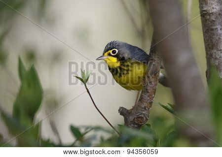 Male Canda Warbler Perched In A Tree