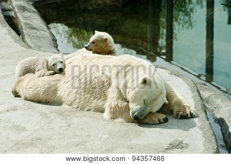 Polar she-bear with cubs sleeps