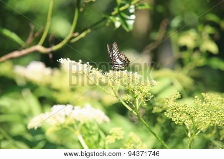Bluebottle Swallowtail butterfly and flowers