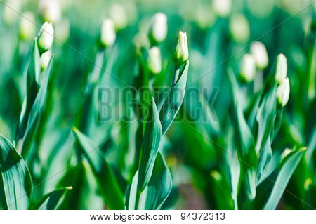 Unblown buds of white tulips close-up