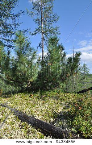 Siberian Dwarf Pine In Deciduous Taiga Yakutia.