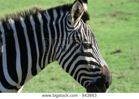 zebra head close up view on grass background poster