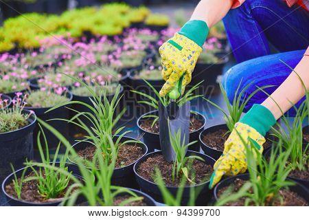 Female in gloves replanting seedlings in the garden