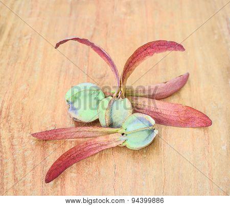 Dipterocarpus Alatus, Winged Seed