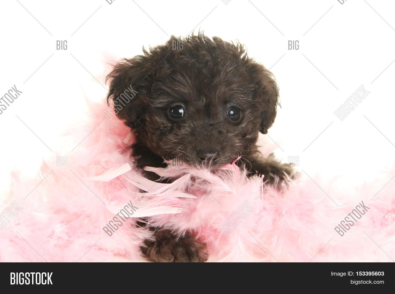 Cute Black Poodle Image & Photo (Free Trial) | Bigstock