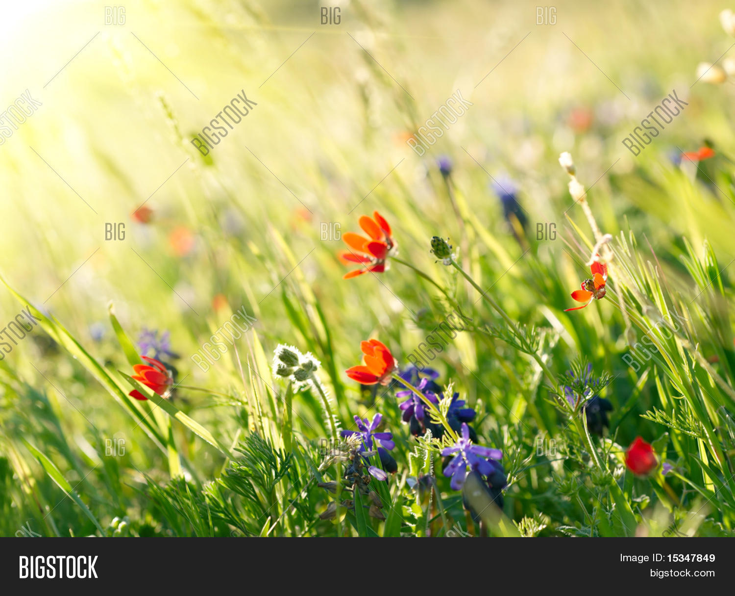 Red Field Flowers Image Photo Free Trial Bigstock