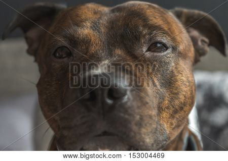 Low contrast photo of staffordshire bullterrier head with sad eyes and silly expression on face. Stafford bull breed to camera in very soft focus.