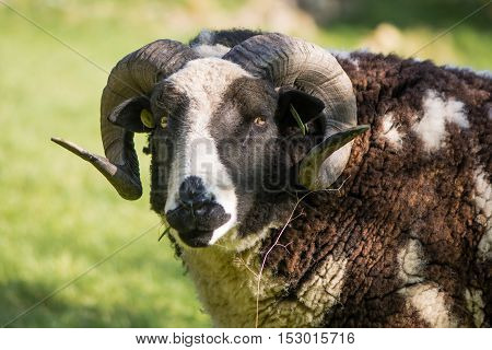 Two horn pedigree Jacob sheep ram head on. Rare brown and white piebald sheep kept as ornamental pet with two curved horns