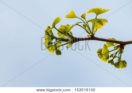 isolated ginkgo biloba leaves in springtime against blue sky