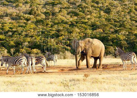 I Put My Foot Down The African Bush Elephant.