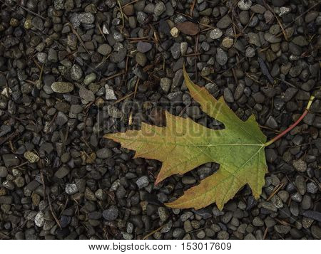 One red green yellow maple leaf in lower right corner on a bed of gravel
