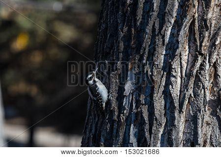 Downy woodpecker on a tree pecking a hole