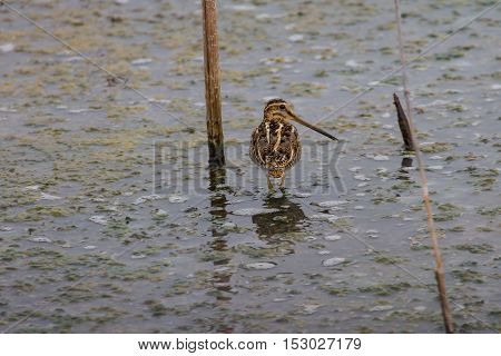 Greater Painted Snipe Feeding In Shallow Water