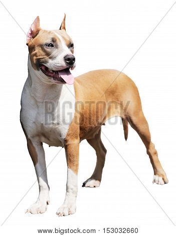 Pedigree Staffordshire Bull Terrier standing over white background