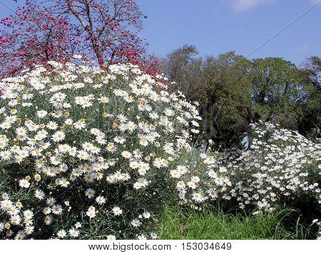 White daisies in Wolfson Park of Ramat Gan Israel March 11 2004