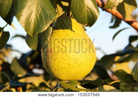 Pear fruit on the tree in the fruit garden, close-up, summer evening