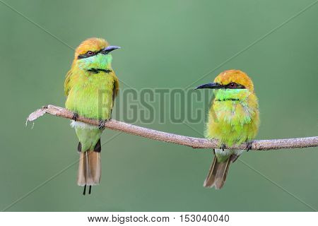 Two green bee eater perching on a branch