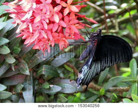 Black Great Mormon on a flower in garden of Niagara Falls Canada July 16 2016