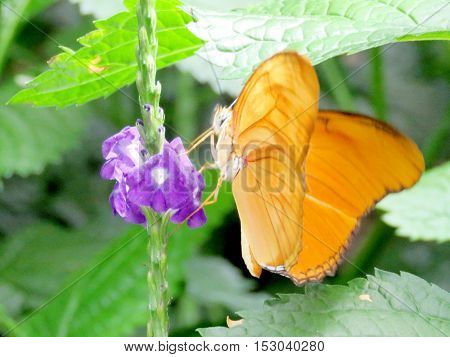 Orange Sulphur butterfly in garden of Niagara Falls Canada July 16 2016