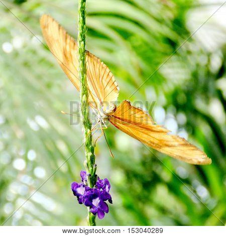The Orange Sulphur butterfly in garden of Niagara Falls Canada July 16 2016