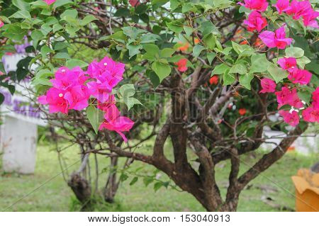 Bougainvillea flower purple selective focus glabra Choisy beautiful natural in garden