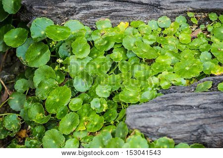 Asiatic pennywort growing on timber in the garden.