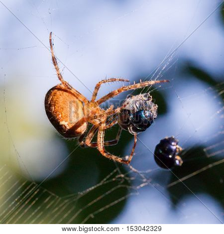 Spider Catching Beetle