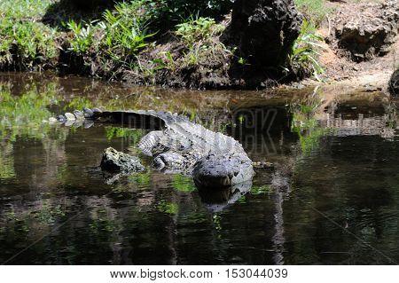 Crocodile In Nature