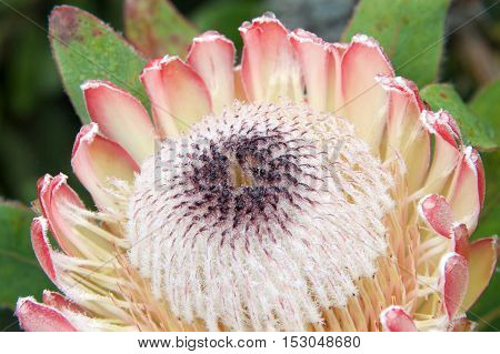 A Protea flower one of the national flowers of South Africaboth the botanical name and the English common name of a genus of South African flowering plants sometimes also called sugarbushes