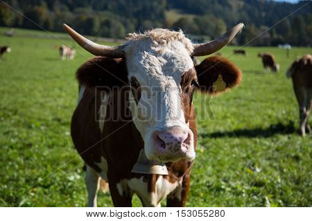 Cow with bell and horns, horn, in the montains