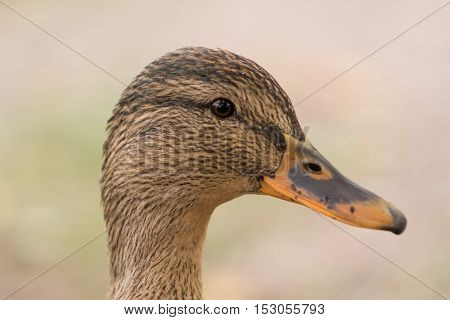 Closeup of a female mallard. Head only with nice clean background in green.