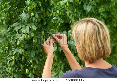 Woman checking hop cones in the hop field. Beer production material.