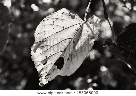 Big autumn leaf lit by sun in black and white