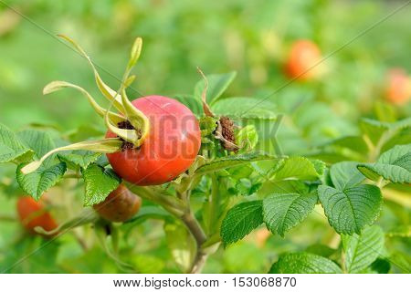 ripened dogrose berries on a bush on a green background. closeup