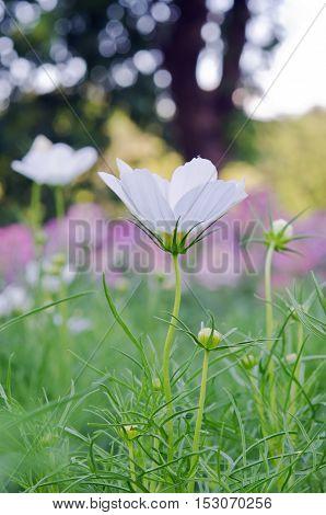 White Aster Flower In Flowerbed Garden Sirikit National Garden, Bangkok Thailand