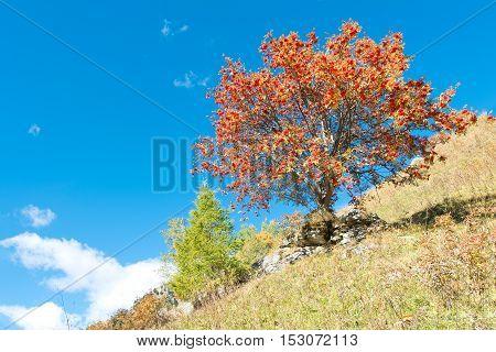 Sorbus Aucuparia Plant
