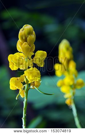 Yellow Flower Of Ringworm Bush Or Candle Bush Flower Or Candelabra Bush