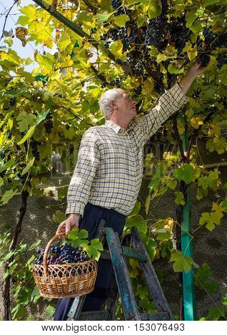 Senior Man Harvesting Grapes In Vineyard