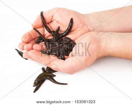 Leeches in  hands