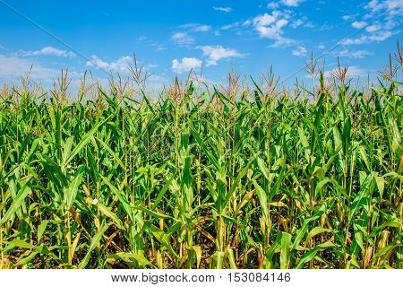 Corn Field With Blue Skies. Organic Agriculture Green Leaf