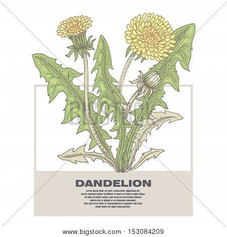 Dandelion. Illustration of medical herbs. Isolated image on white background. Vector.