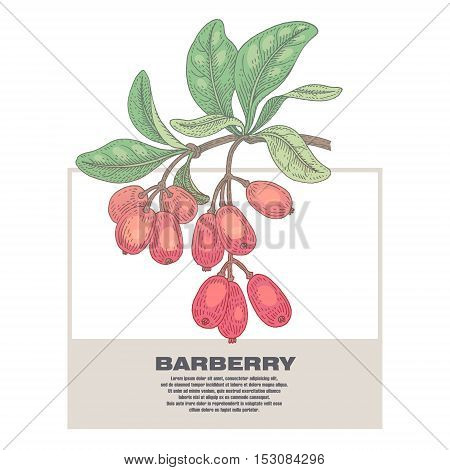 Barberry. Illustration of medical herbs. Isolated image on white background. Vector.
