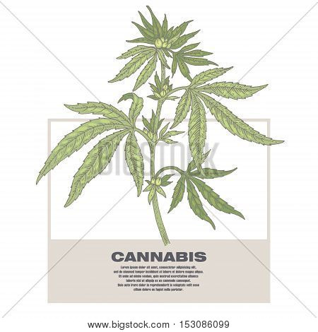 Cannabis. Illustration of medical herbs. Isolated image on white background. Vector.