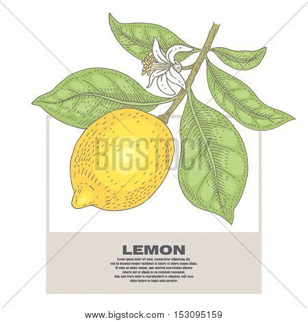 Lemon. Illustration branch plant with fruits and flowers. Isolated image on white background. Vector.