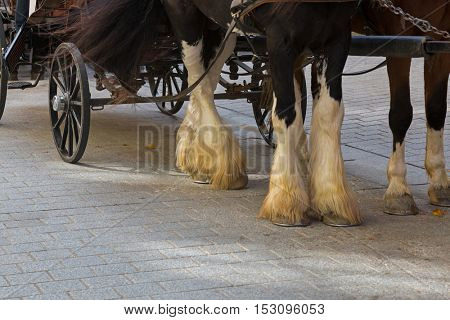 Selective focus of Gypsy Horse with white feather furs socks on the lower legs standing outside the buildings with horse drawn carriage straps on in Kitzbuhel, Austria