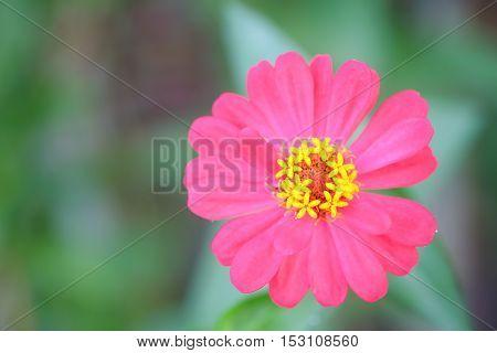 Pink zinnia tree Pink zinnia closeup.Focus top carpel.
